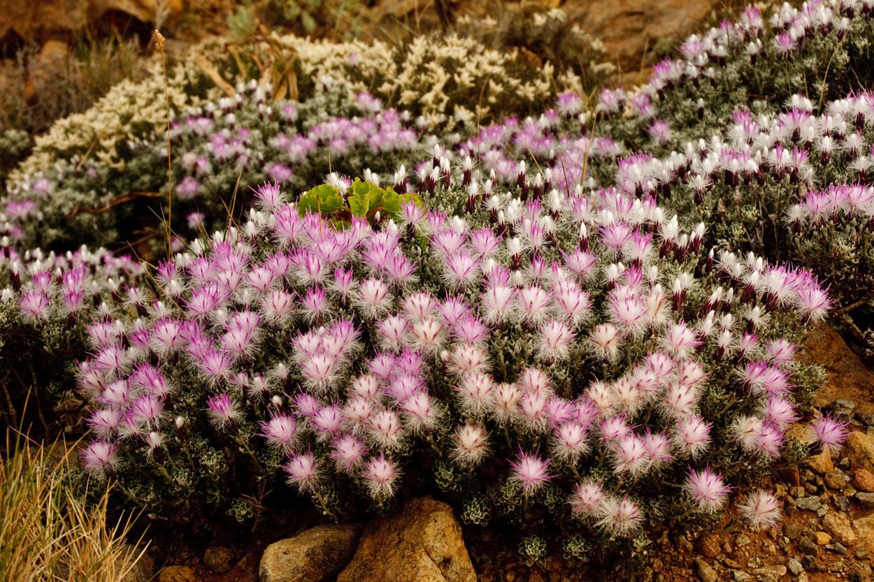 Staehelina baetica en floración