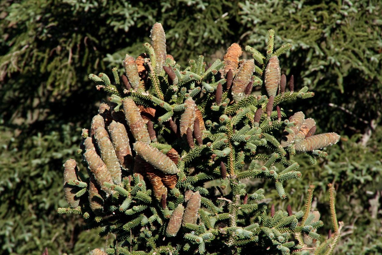 Piñas femeninas del pinsapo