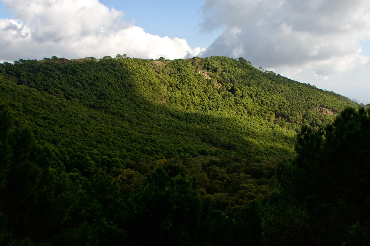 Densos bosques de pinos resineros